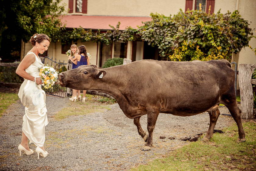Adelaide Hills Country Cottages Wedding Photography Adelaide Hills with the Cow!